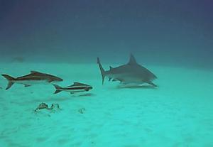 Mrs Bull shark and her attendants